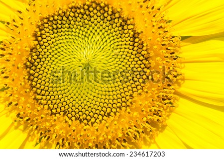 Closeup sun flower - stock photo