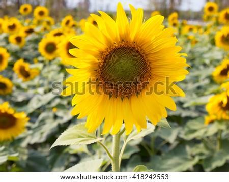 closeup sunflower in field - stock photo