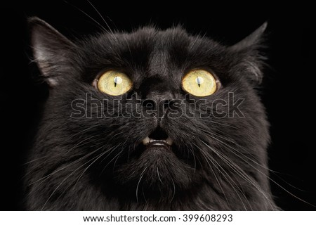 Closeup Surprised Black Cat Face with Yellow Eyes opening Mouth on Dark Background - stock photo