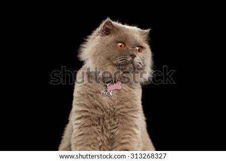 Closeup Surprised Scottish Cat on Black Background - stock photo