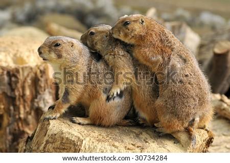 Closeup three profile Black-tailed Prairie Dogs (Cynomys ludovicianus) on wood trunk - stock photo