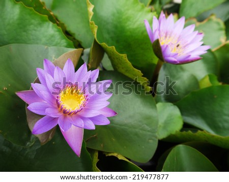 closeup Two beautiful purple water lily (lotus) - stock photo