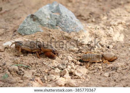 Closeup two  European mole cricket (Gryllotalpidae) running along the ground - stock photo