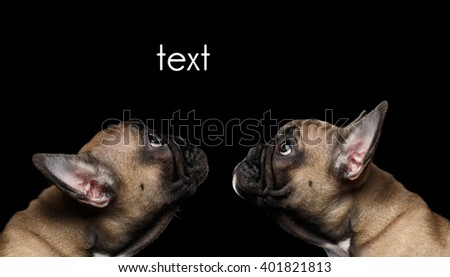 Closeup Two French Bulldog Puppys head Looking up, Profile view,  Isolated on black background - stock photo