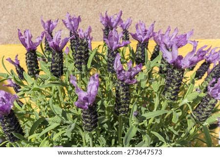 Closeup view lavender flowers - stock photo
