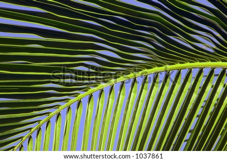 Closeup view of a tropical Maui palm frond against a beautiful clear blue sky. - stock photo