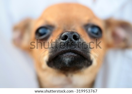 Closeup view of cute beautiful little dog smallest breed in world of mexican origin chihuahua or toy-terrier brown color with black nose and whiskers in front on blur background, horizontal picture - stock photo