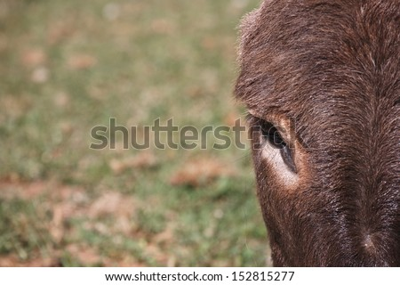 closeup view of donkey's head and eye - stock photo