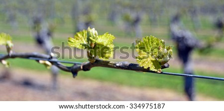Closeup view of early Spring leaves and buds growth on Sauvignon Blanc Vines in Marlborough, New Zealand - stock photo