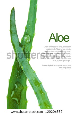 Closeup view of two fresh succulent leaves of aloe - stock photo