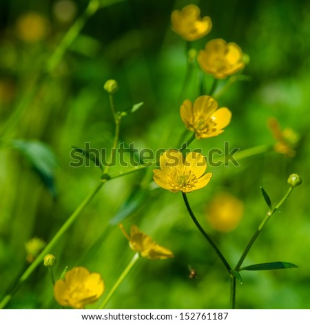 Closeup view of yellow buttercup flowers against green background - stock photo
