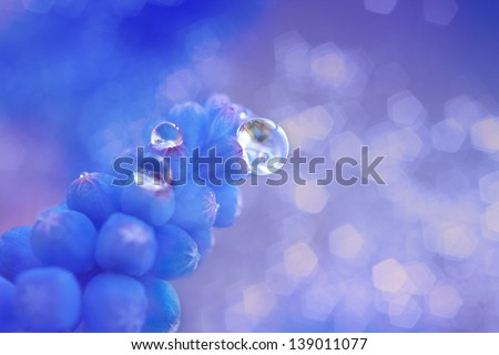 closeup water droplets on blue hyacinth bud in spring with bokeh, soft and dreamy - stock photo