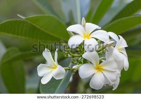 closeup white plumeria flower with green leaf background - stock photo