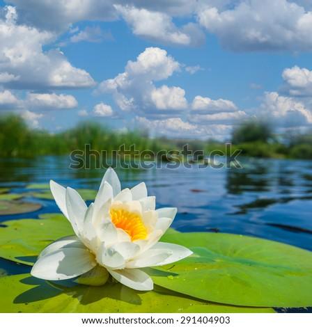 closeup white water lily - stock photo