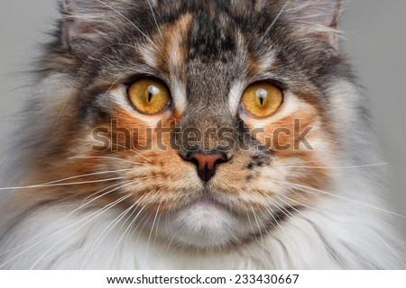 closeup white with ginger Maine Coon cat on white background - stock photo