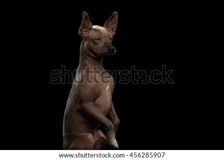 Closeup Xoloitzcuintle - hairless mexican dog breed Sitting on hind legs, Curious Looks, on Isolated Black background, Sad eyes - stock photo