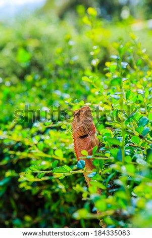 Closeup yellow crested lizard perched on the leaves . - stock photo