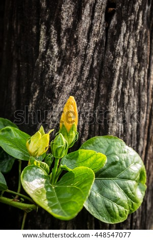 Closeup yellow hibiscus rosa-sinensis flower with wooden background - stock photo