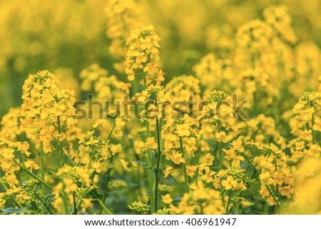 closeup yellow summer rape field - stock photo