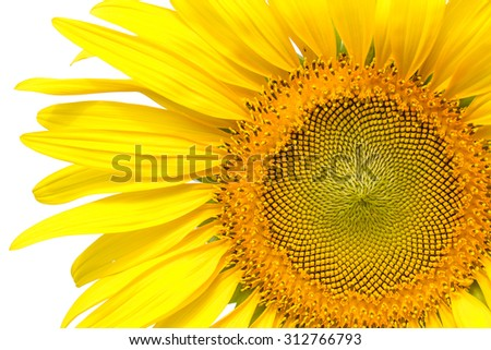 Closeup yellow sunflower petals isolated on write background - stock photo