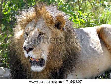 Closeview of the lion sitting near a bush - stock photo