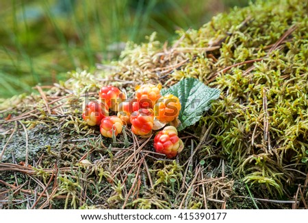 Cloudberry on a green vegetative background in wood. Fresh wild fruit - stock photo