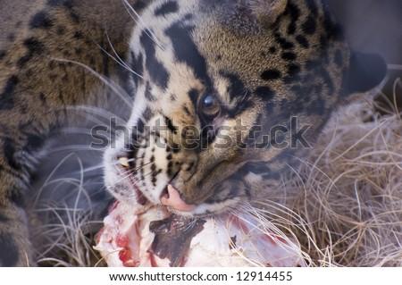 Clouded Leopard (Neofelis nebulosa) - stock photo