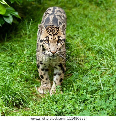 Clouded Leopard Standing on Grass Neofelis Nebulosa - stock photo