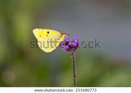 Clouded Yellow butterfly nectaring on a purple flower, Cornwall, England, UK. - stock photo