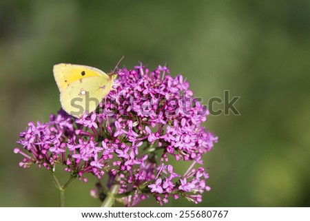 Clouded Yellow butterfly nectaring on Red Valerian flowers, Cornwall, England, UK. - stock photo