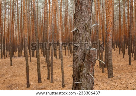 Cloudy fall morning in the pine tree forest - stock photo