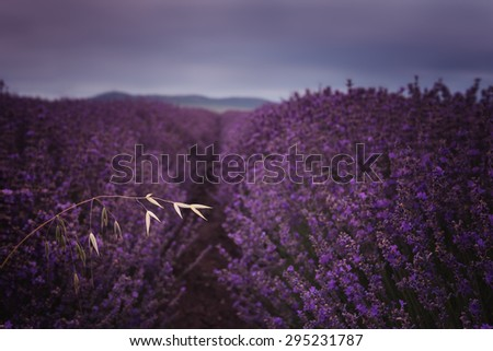 Cloudy morning in lavender field - stock photo
