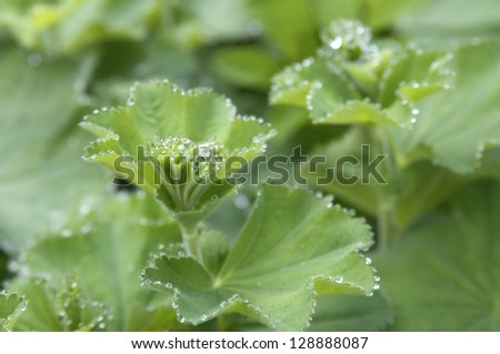 clouseup photo of Lady's Mantle - stock photo