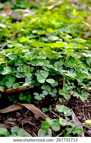 clover - stock photo