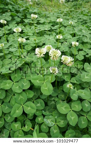 clover blooming - stock photo