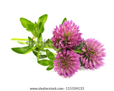 Clover flowers on a white background - stock photo