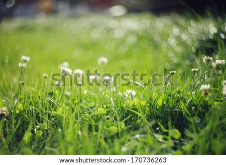 clover flowers on blurred green background. Small Depth of Field (DOF)  - stock photo