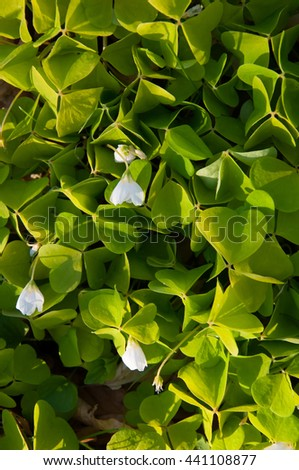 Clover leaf background with some white flowers - stock photo