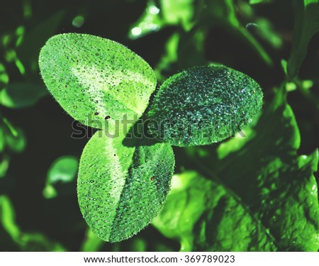 Clover leaf in dew drops - stock photo