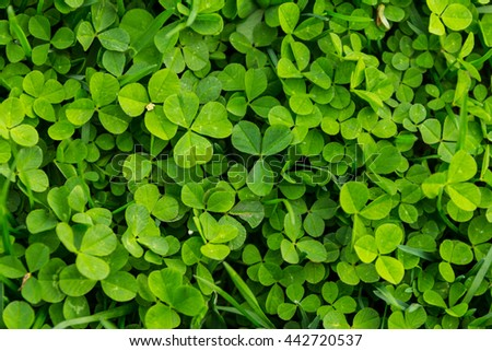 Clover texture background - stock photo
