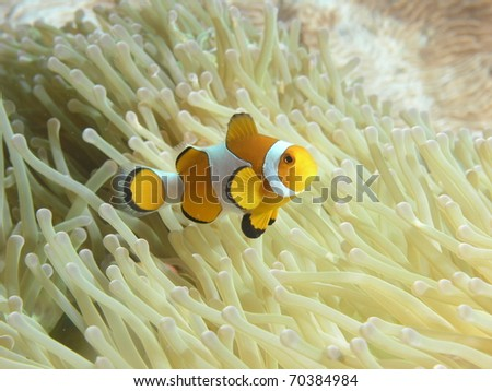 clown anemonefish above its anemone - stock photo