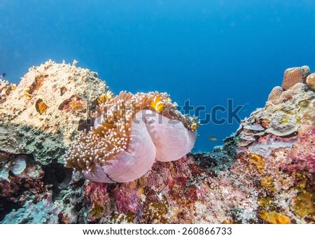 Clown Anemonefish in Anemone underwater - stock photo