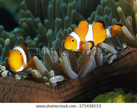 Clown anemonefish in Bali sea, Indonesia - stock photo