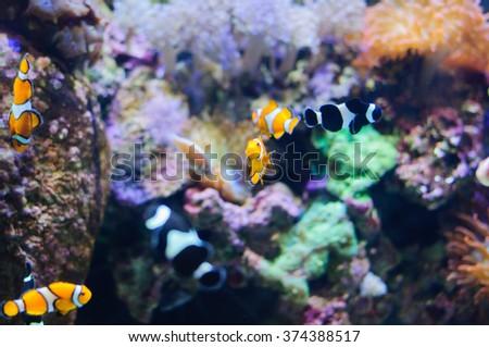 Clown Anemonefish underwater photo of tropical fish - stock photo