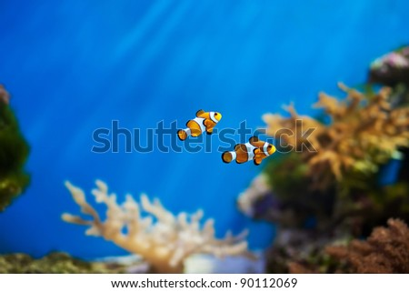 clown fish in the  blue aquarium - stock photo