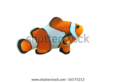 Clown fish isolated in white background (Amphiprion percula) - stock photo