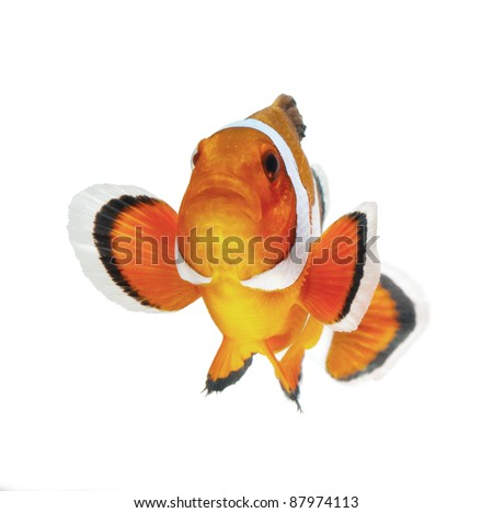 clown fish or anemone fish isolated on white background - stock photo