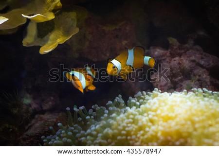 Clown fish or anemone fish underwater. .  - stock photo