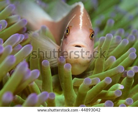 Clown Fish or Clown Anemonefish - stock photo
