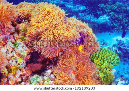 Clown fish swimming in coral garden, beautiful undersea nature, majestic marine life, diving on Maldives island - stock photo